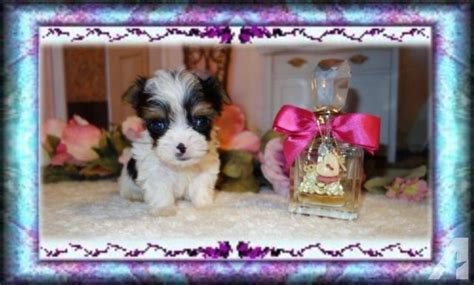 tiny yorkies for sale in sc micro tiny parti yorkie for sale in alcot south carolina classified americanlisted