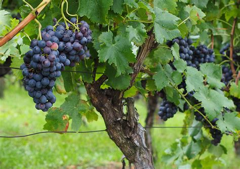 uvas silvestres imagenes espores la fruita del mes 201 s el ra 207 m