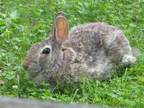 bunny in my backyard wild rabbit in my front yard rabbits pinterest