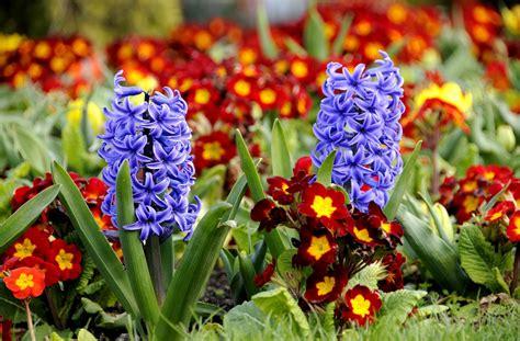 flowers that bloom at beautiful flowers wallpapers beautiful flower hyacinth hd desktop wallpapers 4k hd