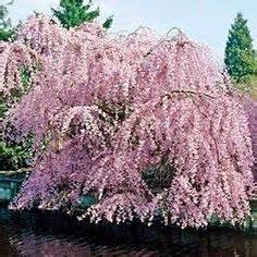 cherry tree zone 4 1000 images about flowering trees gorgeous on small trees pink dogwood and fast
