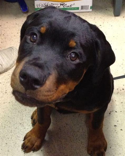 buy rottweiler puppies uk the 25 best rottweiler puppies ideas on baby rottweiler rottweilers and