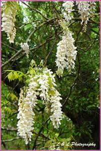 White Flowering Tree - ocala central florida amp beyond white flowering tree bush
