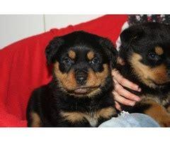 rottweiler puppies for sale in oahu hawaii precious miniature australian shepherd puppies animals honolulu hawaii