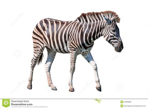 Safira Whity side view of zebra standing isolated