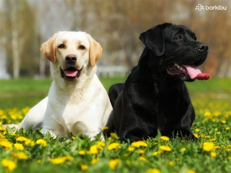 labrador or golden retriever diferencia labrador golden y retriever photo
