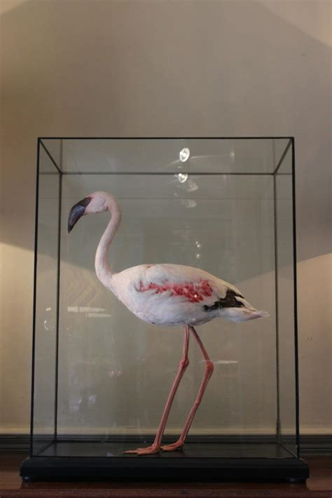 wonderful taxidermy lesser flamingo decorative items other