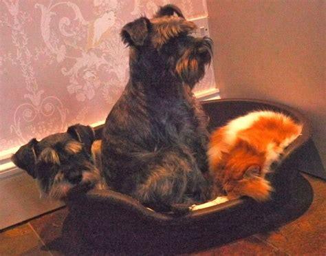 dogs 101 schnauzer miniature schnauzer 101 breeds picture