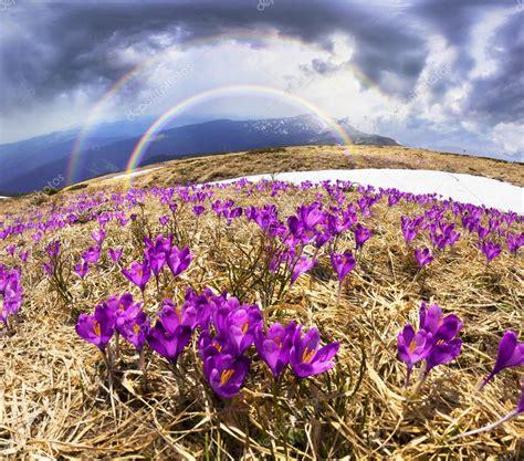 fiori fantastici croco di fiori fantastici nei carpazi foto stock