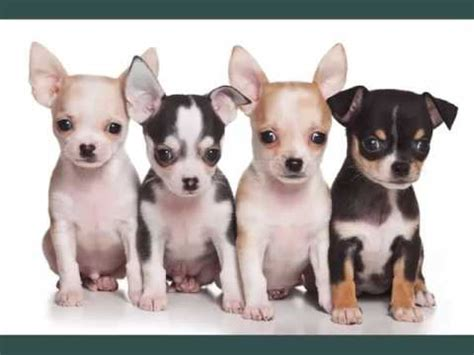 what are the types of dogs chihuahua dogs breed chihuahua picture collection ideas