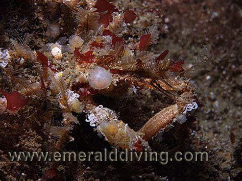 Graceful Decorator Crab by Crab Species Index