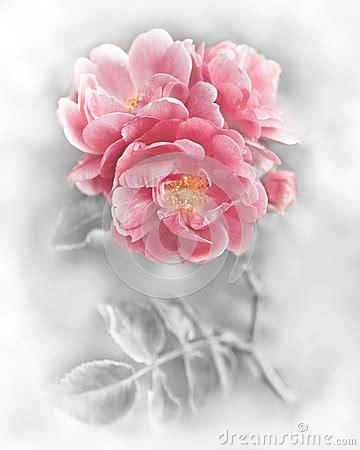 imagenes abstractas romanticas flores rosadas rom 225 nticas abstractas de las rosas