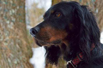 gordon setter dog temperament gordon setter temperament personality
