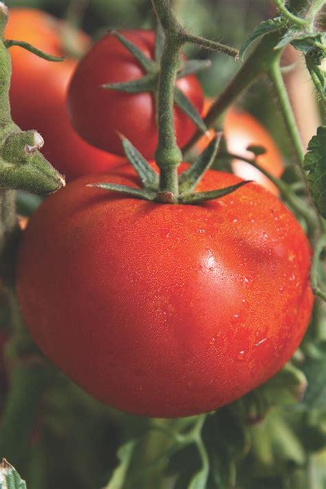 tomato plants   garden hgtv