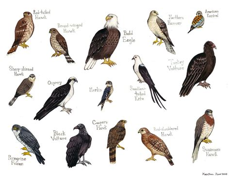 falcons bird field guide style watercolor painting print hawks