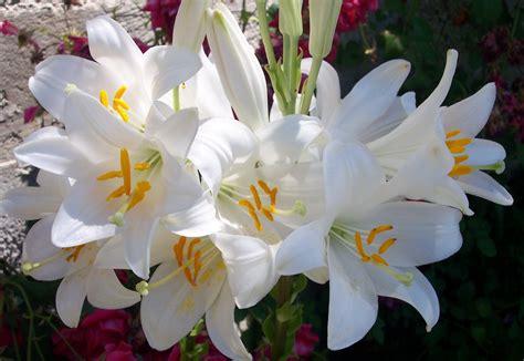 imagenes de flores nardos im 225 genes de flores y plantas azucena