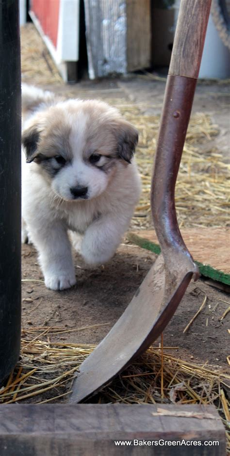 great pyrenees puppies michigan great pyrenees puppies baker s green acres