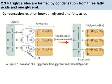 carbohydrates normally function in animals as ib biology 2 3 slides lipids carbohydrates
