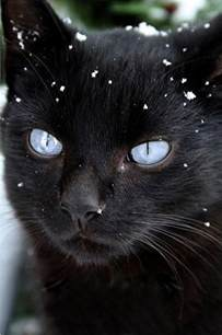 blue eyed black cat cats and kittens pinterest