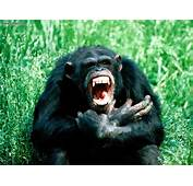 Animals Back Off Chimpanzee Picture Nr 15116