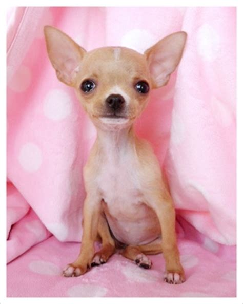 teacup applehead chihuahua puppies for sale pin teacup applehead chihuahua puppies for free or sale in oregon on