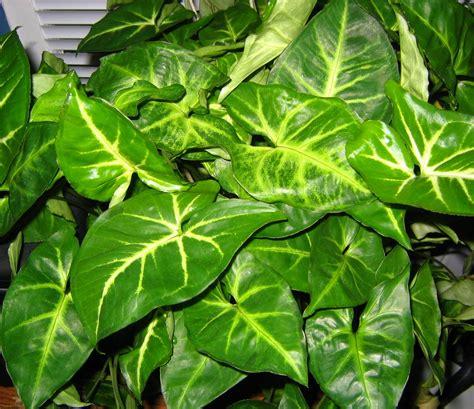 common houseplants arrowhead file arrowhead plant 002 jpg