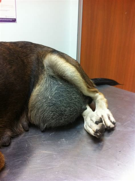 puppy hernia surgery cost subsidy for with hernia eileen ng ai s animalcare