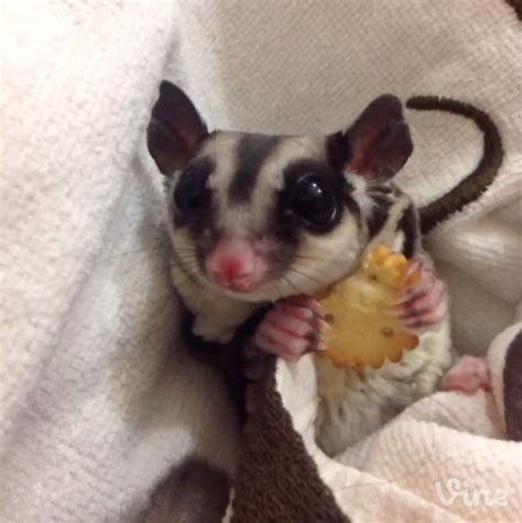 a day in the life of a sugar glider