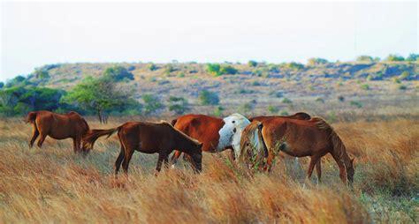 Sho Kuda Di Indo berkejaran dengan kuda sumba di savana puru kambera