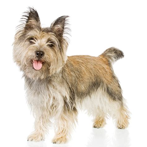 free puppies ta cairn terrier dogs breeds pets