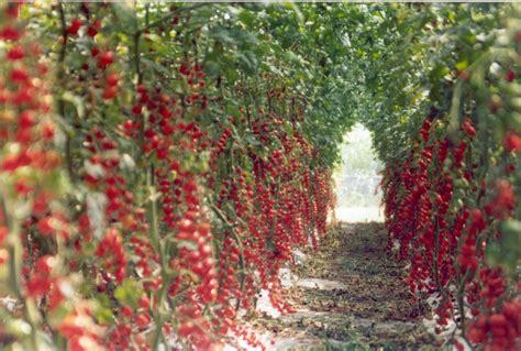 coltivare fiori in serra come coltivare il pomodoro in serra cosa devi sapere
