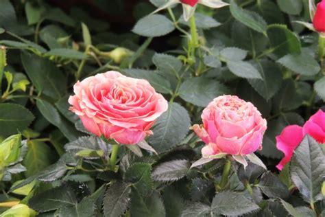 roselline in vaso le cure per le splendide roselline in vaso donnad