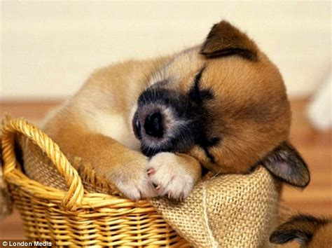 the cutest puppies the cutest sleeping puppies you ll see