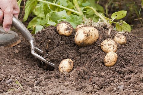 growing organic potatoes harvest to table