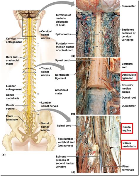 section filum terminale organisation of peripheral nervous system spinal cord
