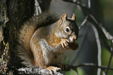how to get rid of squirrels in the backyard how to get rid of squirrels in house 28 images how to