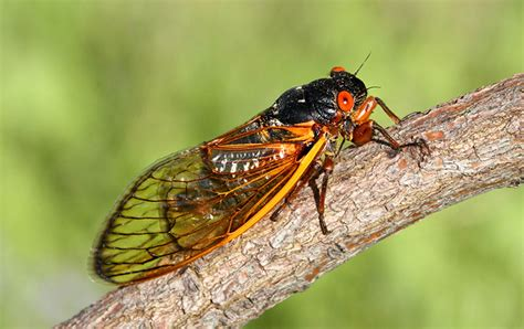 watch out east coast the cicadas are coming modern farmer