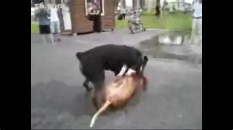 kangal vs rottweiler real fight the gallery for gt doberman vs pitbull fight