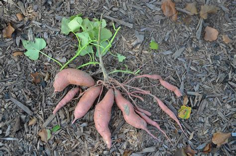 are sweet potatoes a root vegetable a critical look at sweetpotato yield mississippi crop