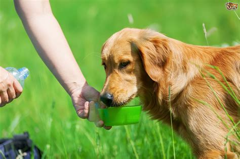 dehydration in dogs six tips for owners to avoid dehydration in dogs pets4homes