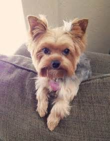 haircuts for yorkie dogs females search results for yorkie short haircuts for summer