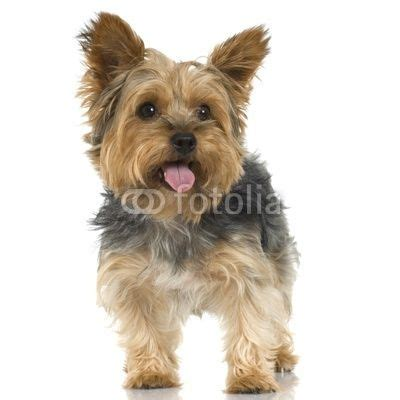 extra short haircut for yorkies 14 best images about yorkie cuts on pinterest