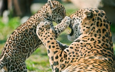 imagenes del jaguar animal jaguar todo sobre el animal salvaje h 225 bitat y