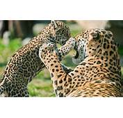 Jaguar Todo Sobre El Animal Salvaje H&225bitat Y