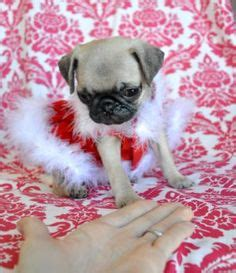 silicone puppies for sale pug puppies for sale nsw zoe fans baby animals pug puppies