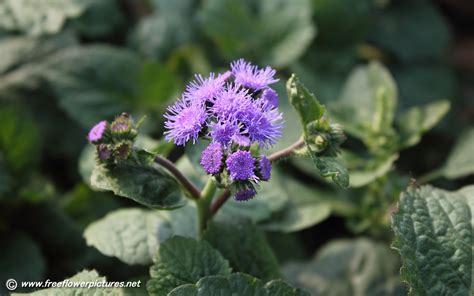 floss flower pictures ageratum flower pictures