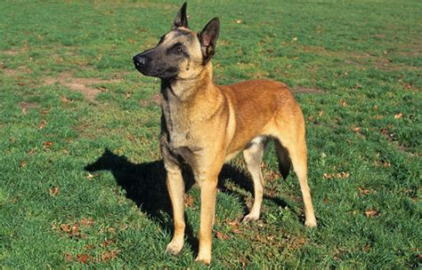 belgian malinois rescue puppies belgian malinois breed information