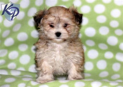 morkie puppies for sale in pa 39 best images about morkie puppies on morkie puppies for sale ux ui