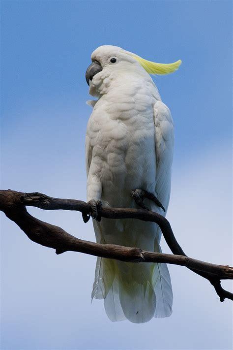 imagenes de guacamayas blancas file cacatua galerita tas 1 jpg wikimedia commons