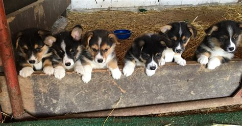 corgi puppies for sale in ohio corgi puppies for sale the pulse
